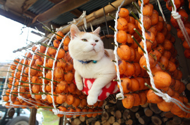 Hanging out with the Kaki - Shiro, Japan's balancing celebrity cat, for once not in a dozing mode with objects on paws or head. But he still got to balance up there.